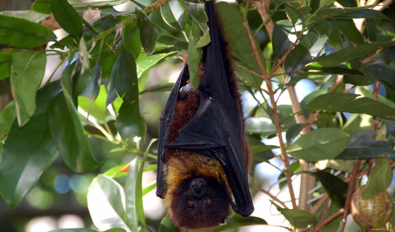 bat, batman, летучая мышь, мышь, летучая,