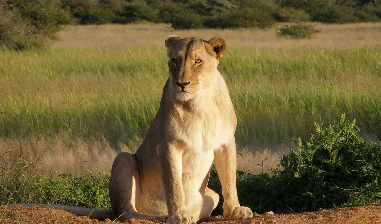 львица, lion, льви, львиц, цы, panthera, львята, lx, genitive,