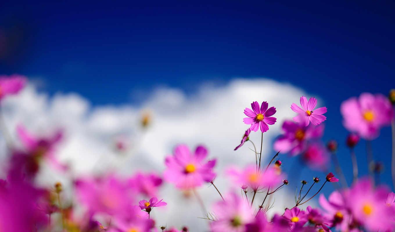 цветы, небо, космея, полевые, розовая, розовые, размытость,