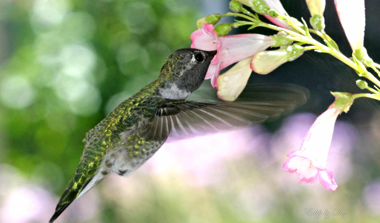 animal, world, колибри, птица, smallest, birds, free,