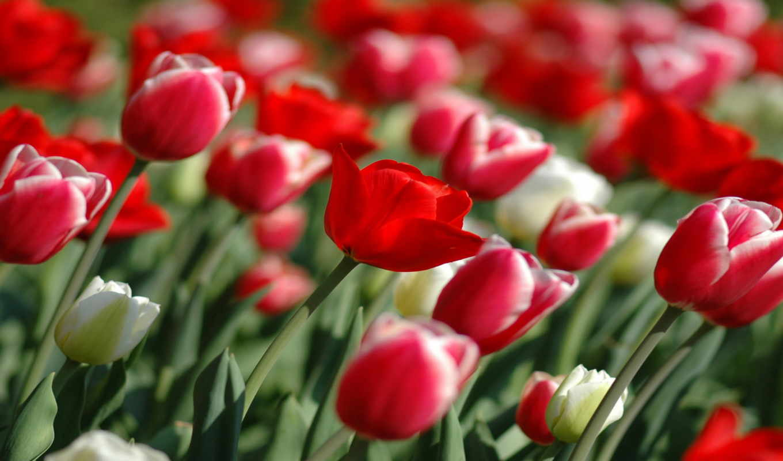 tulips, wallpaper, priroda, es, spring, тюльпаны, природа, бесплатные, un, картинка, разрешении, изображение, this, floricultor, wallpapers, всех, red, share, descargar,