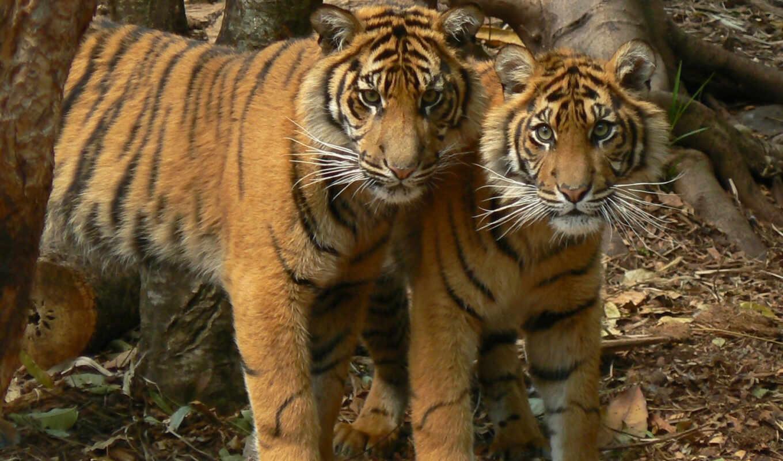 тигры, подростки, тигр, тигрята, красивых, сильные, подборка, животные,
