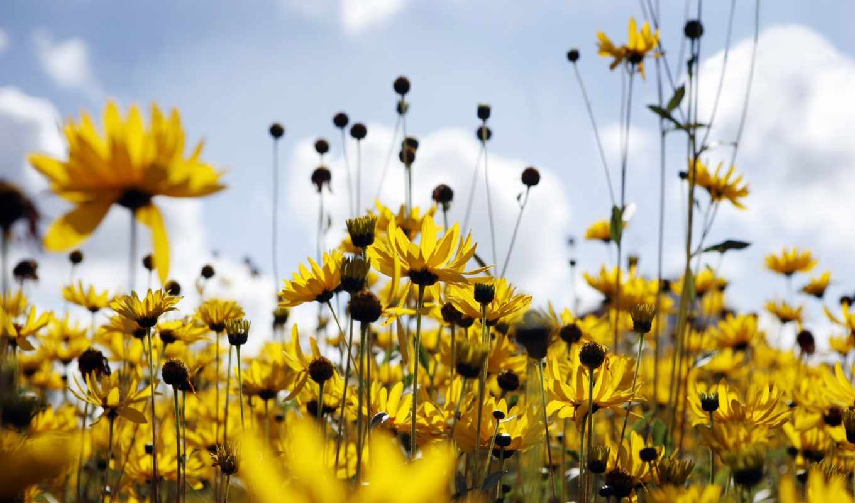 поле, лето, ромашки, цветы, time, desktop, картинка, eastern,