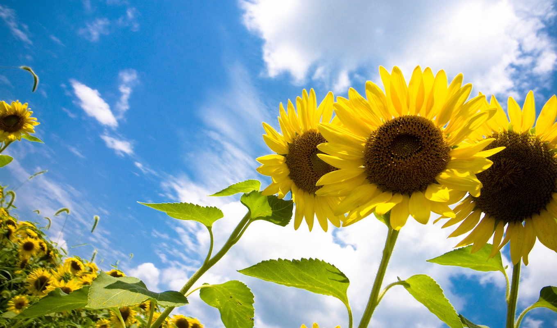 подсолнухи, цветы, sun, небо,