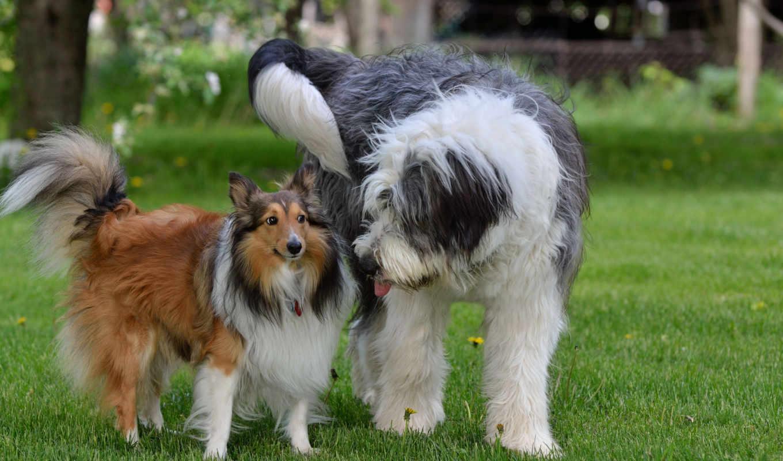 desktop, dogs, собаки, pair, трава, summer, images, колли,
