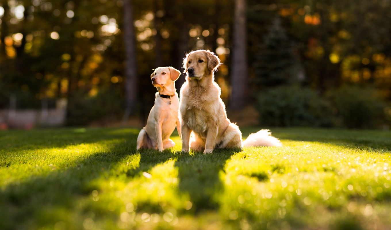 собаки, животные, ретривер, фото, взгляд, об,