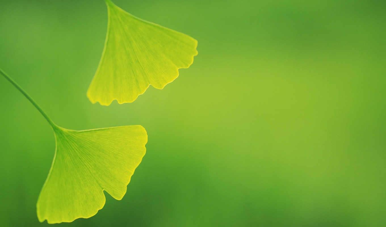 green, leaves, зеленые, widescreen, background, âìé, download, гингко, нежно,