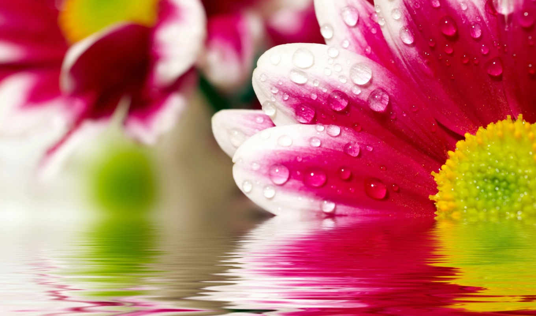 , розовый, маргаритка, капли, вода