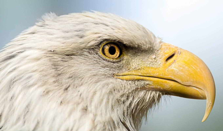 клюв, птица, орлан, хищник, голова, eagles, animals,