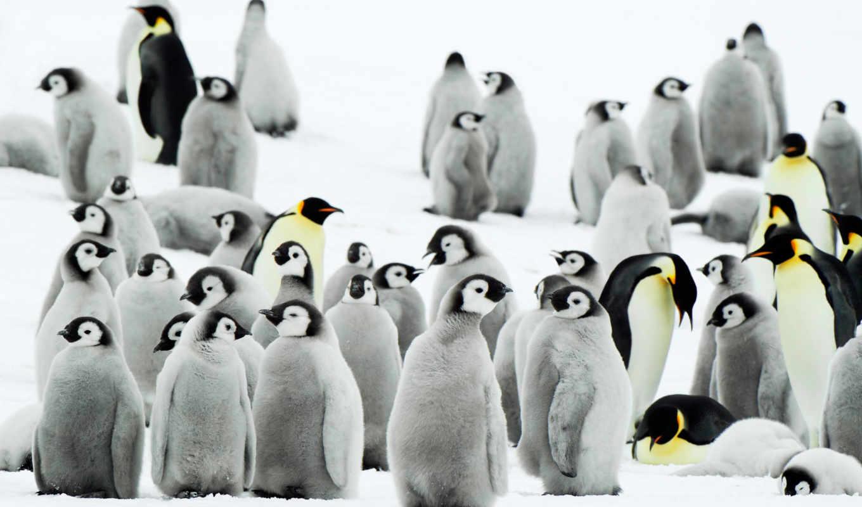 пингвин, free, penguins, desktop, timeline, photos,