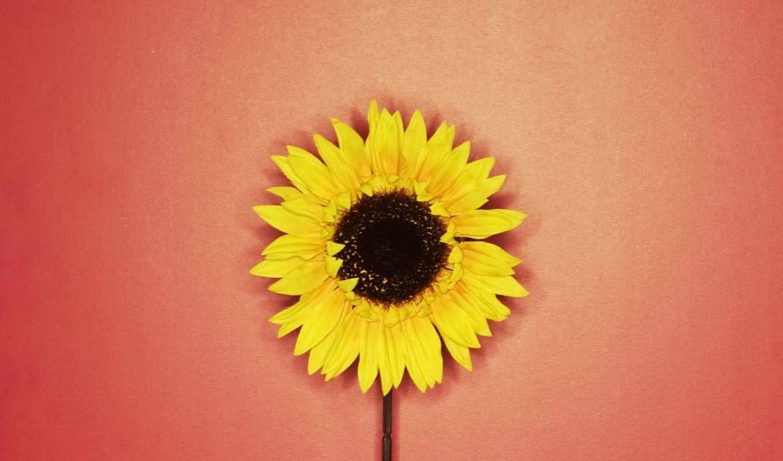 подсолнух, подсолнухи, желтый, цветок,