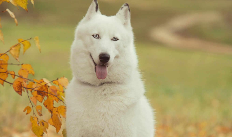 хаски, собаки, животные, собака, сибирский, друг,