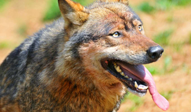 волк, tongue, tags, action, сайте, grey, cute,
