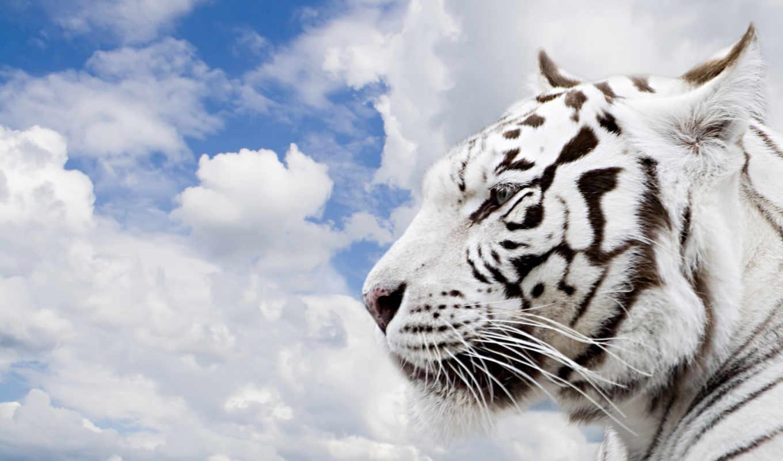 тигр, белый, облака, tigre, небо, белые, бенгальский, животные,