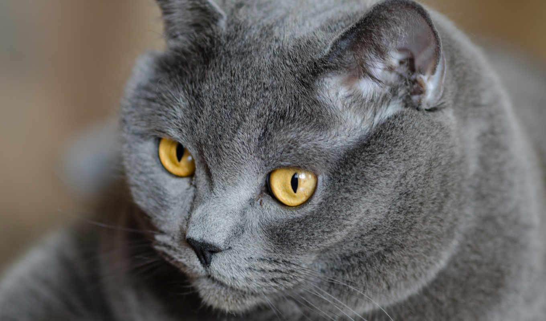 кот, british, британец, глаза, серый, желтые,