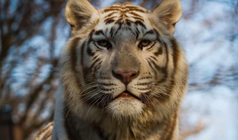 тигр, white, animal, desktop,