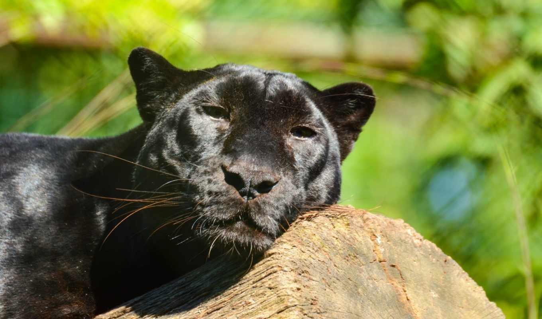 panther, кот, леопард, хищник, дикая,