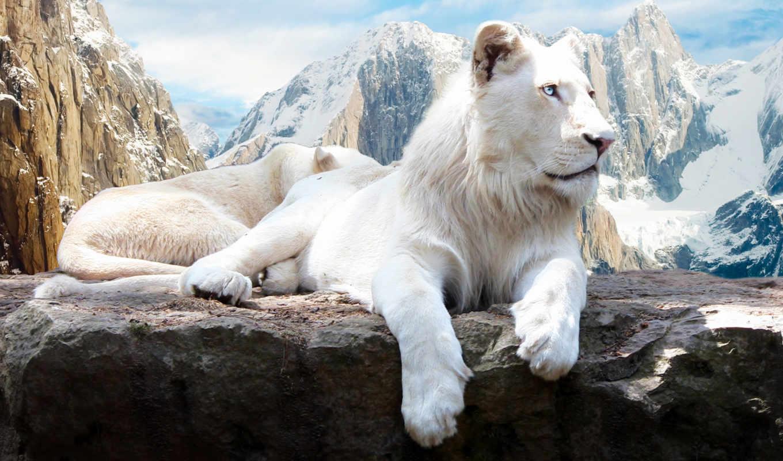львы, lion, zhivotnye, белые, white, леви, били,