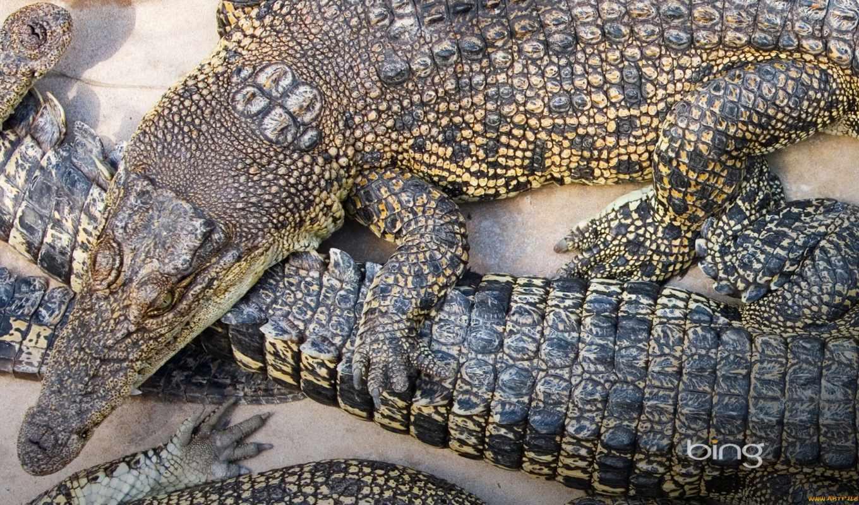 stock, high, crocodiles, images, фото, огромный, купить, найти,