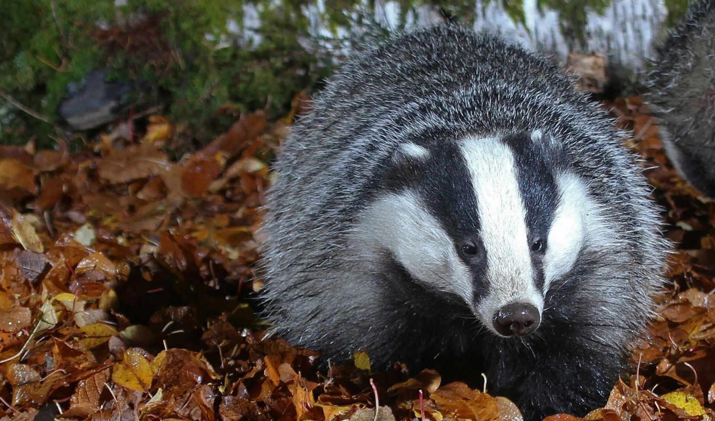 badger, спячку, зимой, осени, fat, animal, площадь, барсука, день, репродукция,
