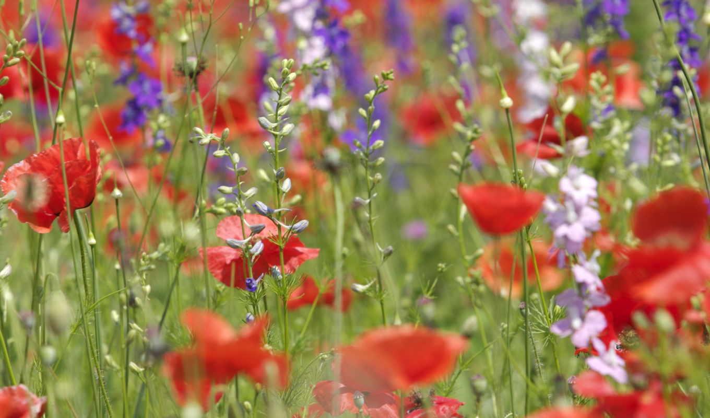 цветы, полевые, нов, маки,