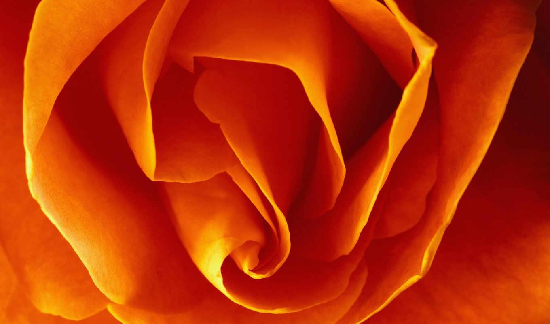 цветы, роза, розы, оранжевый,