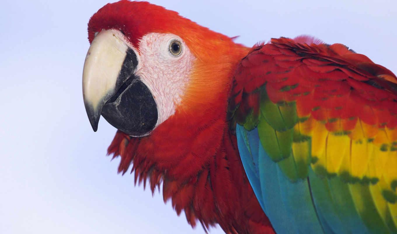 macaw, scarlet, попугай, this, profile, you,