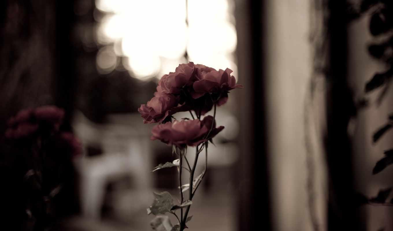 розы, лепестки, категории, шикарные,