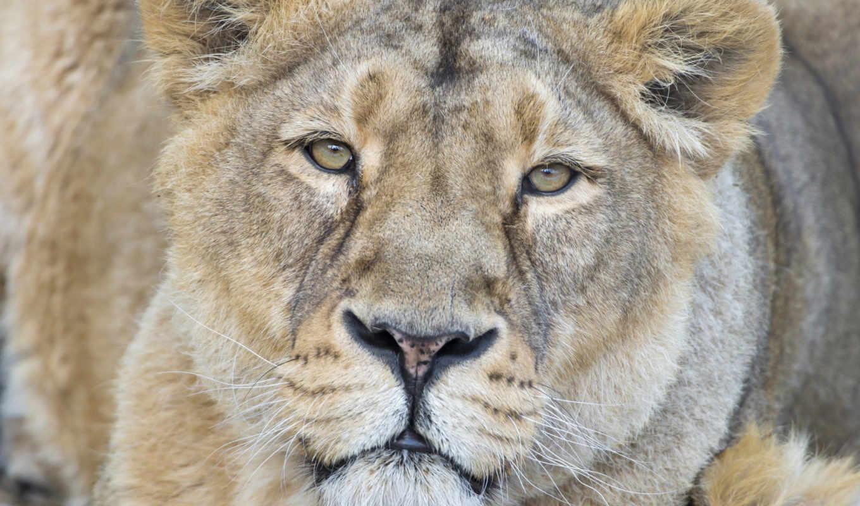 взгляд, львица, кошка, морда, июня,