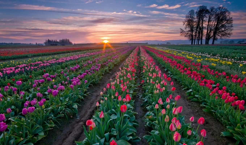 fields, tulip, sunset, nature, flowery, flowers, spring, field, summer, farm, colorful, town, love, растения, именно,