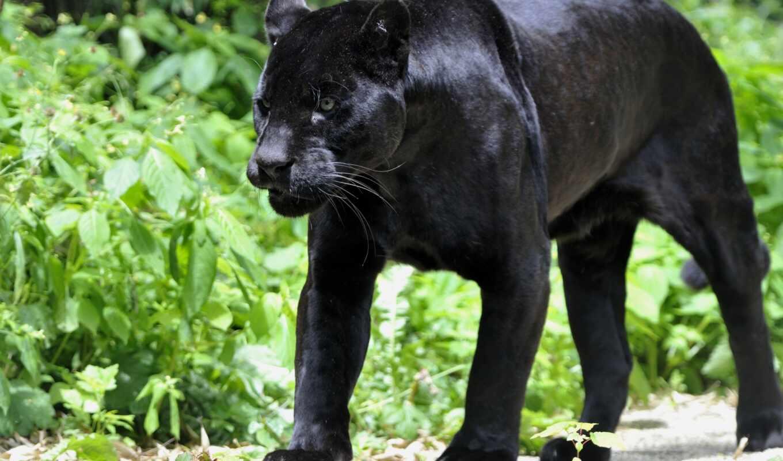 black, panther, jaguar, animal, images, eyes,
