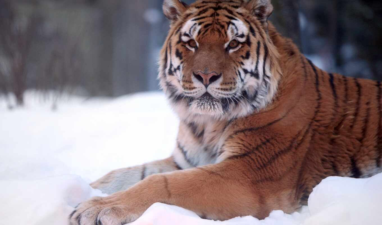 тигр, снег, winter, animal, природа, ложь