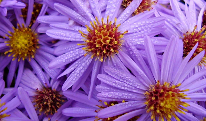 цветы, сиреневые, каплях, воды, комнатные, садовые, нов,