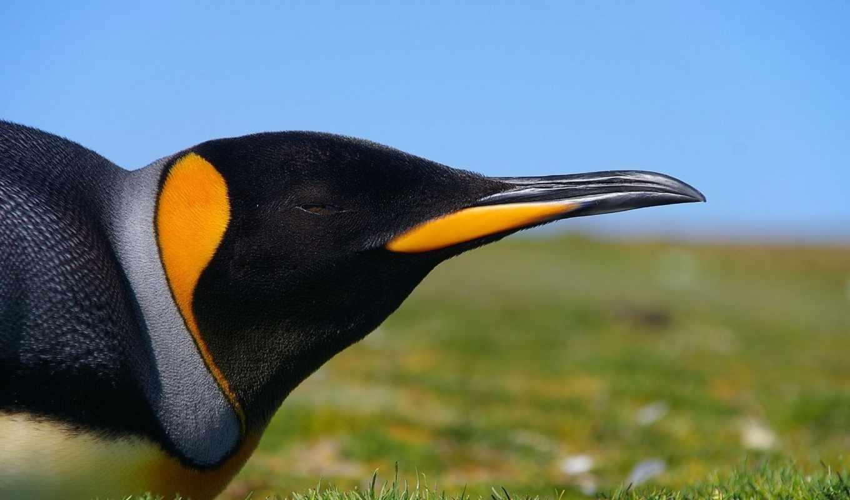 пингвин, emperor, сайте, pingvin, заставки,