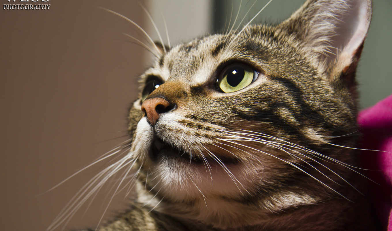 кот, серый, взгляд, portrait, taustapildid, cats, mobile, лоли,