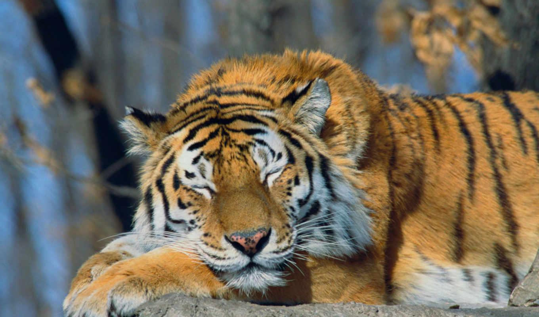 обои, тигр, животные, большие, кошки, тигры, фото,
