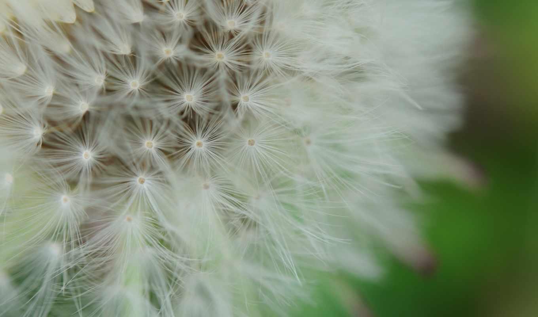 макро, цветы, одуванчик, природа, пух,