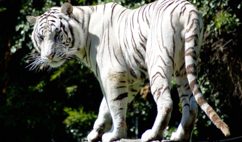 тигр, white, белые, тигры, zhivotnye, тигра, свет, чёрно, голубые, black, имеют,