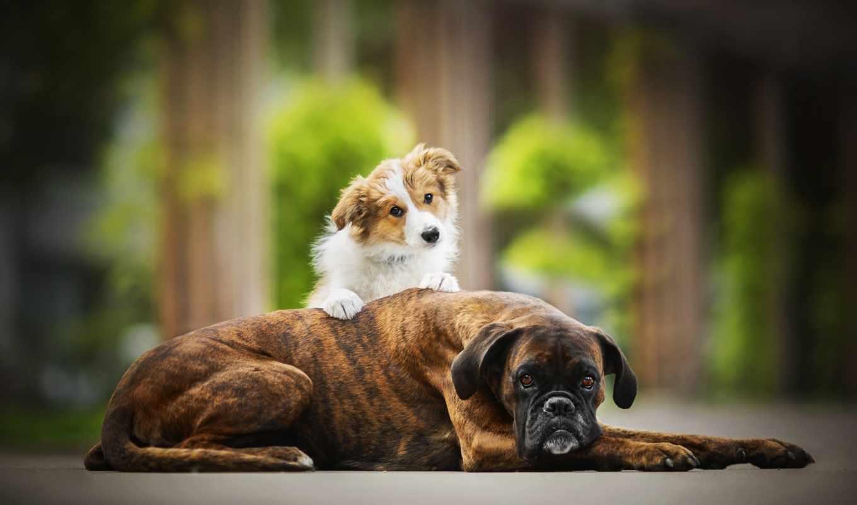 tapety, собаки, собака, друзья, фотографий, dogs,
