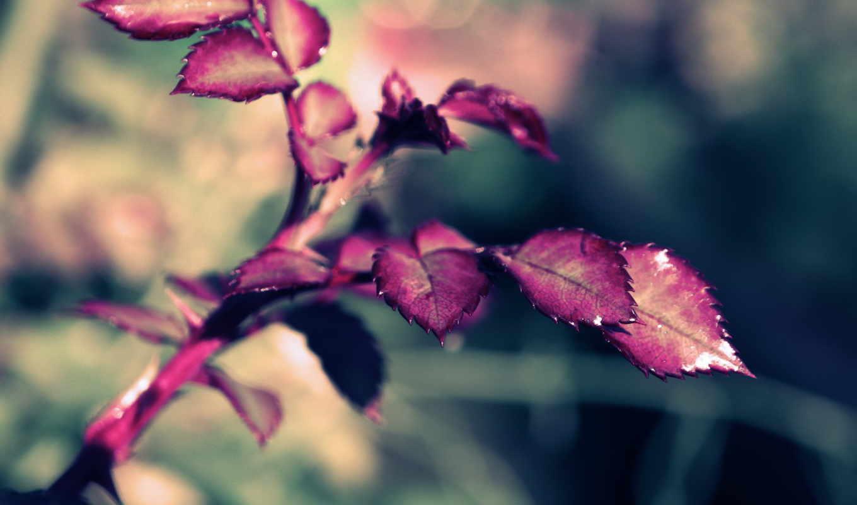 макро, веточка, роза, xpand, leaves, картинка,