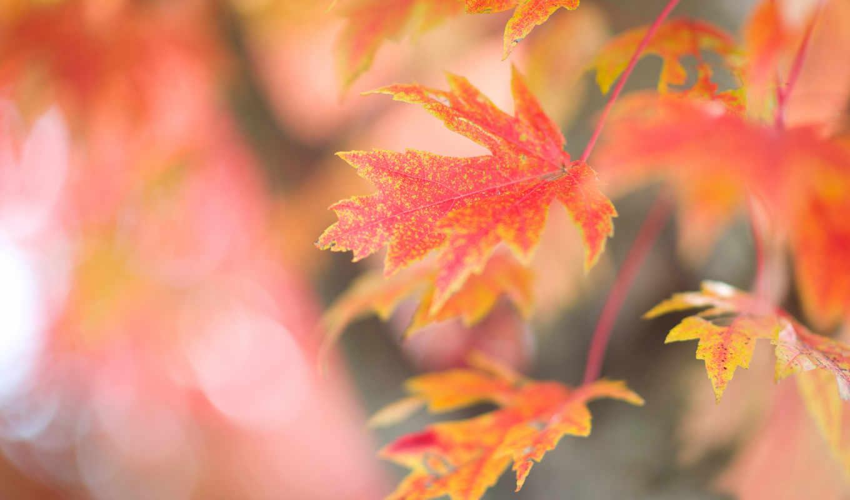 листья, osen, осенние, дерево, кленовые, красные, люблю, тебя, ветка,