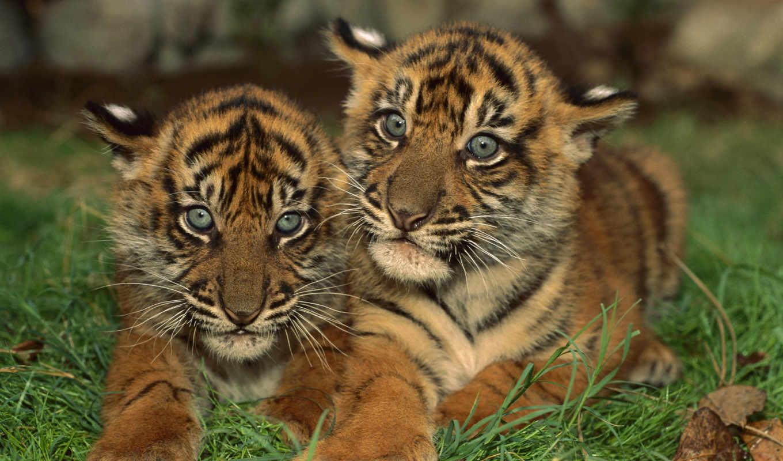 zhivotnye, тигры, тигренка, два, кошки,
