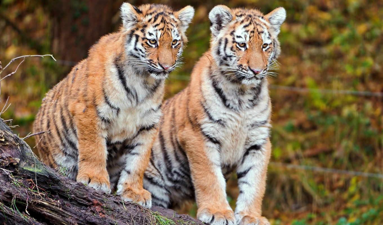 cubs, tiger, animals, funny, pictures, tigers, тигры, desktop,
