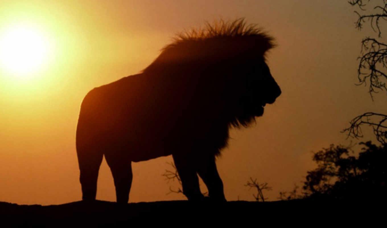 lion, animals,