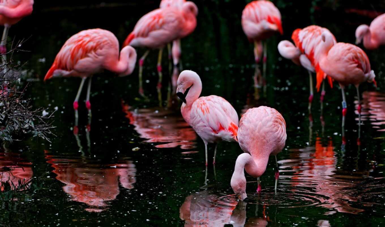 фламинго, розовый, птица, глаза, природа, reservoir