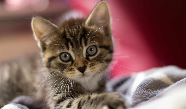 обои, quot, котенок, фото, котята, кот, или, глаза