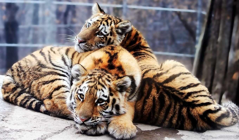 тигр, амурский, тигрята, altaica, panthera, tigris, тигры, животные, дальневосточный, крупный, картинку, уссурийский,