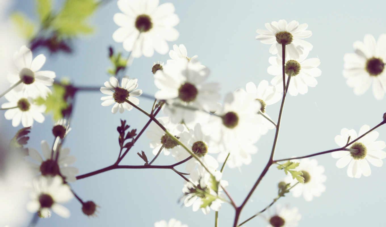 ромашки, цветы, iphone, разрешением, картинка, white, небо, flowers,