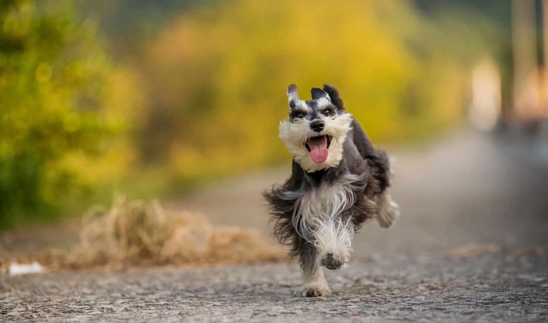 собаки, zhivotnye, взгляд, border, колли, run, собака, ризеншнауцер,