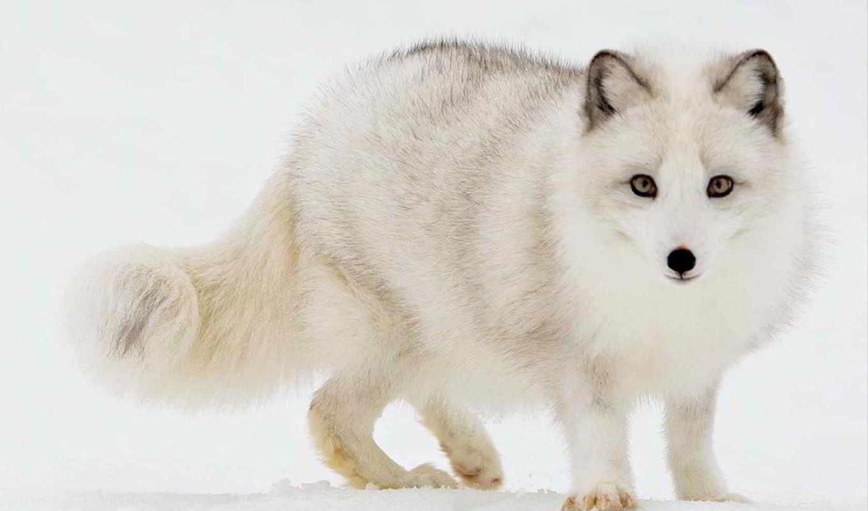 фокс, лис, лисички, лисята, arctic fox,